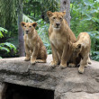 Family of lions — Stock Photo #15326427