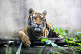 Portrait of a Royal Bengal tiger — Stock Photo