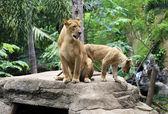 家庭的狮子 — 图库照片