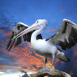 Pelican — Stock Photo #15608133