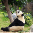 Royalty-Free Stock Photo: Grand panda bear