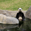 Stock Photo: Grand panda bear