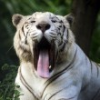 White tiger — Stock Photo #16924239