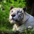 White tiger — Stock Photo #16924265