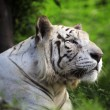 White tiger — Stock Photo #16924267