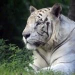 White tiger — Stock Photo #16924337