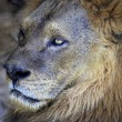 Stock Photo: Portrait of lion.