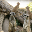 Suricate - Stock Photo