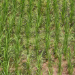 A rice field  — Stock Photo
