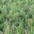 Stock Photo: A rice field