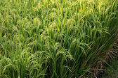 Rice field — Stockfoto