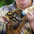Small tiger — Stock Photo #22624495