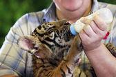 Pequeño tigre — Foto de Stock