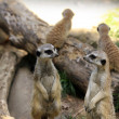 Stock Photo: Suricate