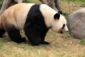 Big panda — Stock Photo
