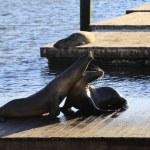 ������, ������: Sea lions