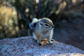 Cute Eastern Chipmunk — Stock Photo