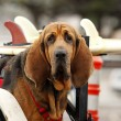 Red dog in car — Photo