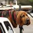 Red dog in car — Stockfoto