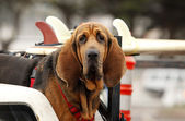 Red dog in car — Stock Photo
