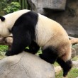 Big panda — Stock Photo #41319481