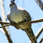 Dove pileated — Stock Photo #45767271