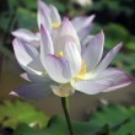 Lotus — Stock Photo #46489647