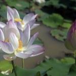 Lotus — Stock Photo #46489649