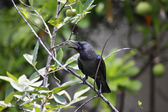 Black bird on tree — Stok fotoğraf