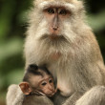 Постер, плакат: Family of monkeys