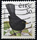 En stämpel som tryckt i irland visar koltrast, turdus merula — Stockfoto