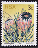 Sugarbush (Protea neriifolia) — Stock Photo