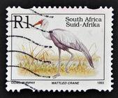 Wattled Crane, Grus carunculata — Stock fotografie