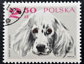 A stamp printed in Poland shows an angels setter dog — Stock Photo