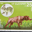 A stamp printed in Bulgaria shows a German Shorthaired Pointer and hare — Stock Photo
