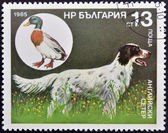 A stamp printed in Bulgaria shows a English Setter and wild mallard — Stock Photo