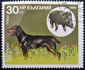 A stamp printed in Bulgaria shows a Bulgarian hound and wild boar — Stock Photo