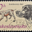 """A stamp printed in Czechoslovakia shows a Shorthaired Pointer from the series """"Hunting Dogs"""" — Stock Photo"""