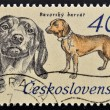"A Stamp printed in Czchoslovakia shows image of a Bavarian Hunting Dog from the series ""Hunting Dogs"" — Stock Photo #13552551"