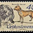 "A Stamp printed in Czchoslovakia shows image of a Bavarian Hunting Dog from the series ""Hunting Dogs"" — Stock Photo"