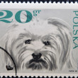 POLAND - CIRCA 1968: a stamp printed in Poland shows maltese dog, circa 1968 — Stock Photo