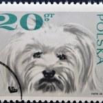 POLAND - CIRCA 1968: a stamp printed in Poland shows maltese dog, circa 1968 — Stock Photo #13787622