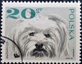 POLAND - CIRCA 1968: a stamp printed in Poland shows maltese dog, circa 1968 — Stock fotografie