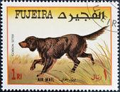 FUJEIRA - CIRCA 1980: A stamp printed in Fujeira dedicated to dogs, shows gordon setter, circa 1980 — Stock Photo