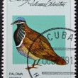 Stock Photo: CUB- CIRC1979: stamp printed in Cubdedicated to feral pigeons will shows Quail-dove (Geotrygon caniceps), circ1979