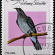 Stock Photo: CUB- CIRC1979: stamp printed in Cubdedicated to feral pigeons will shows White-crowned Pigeon (Columbleucocephala), circ1979