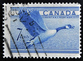 CANADA - CIRCA 1952: A stamp printed in Canada shows duck, circa 1952 — Foto Stock