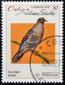 CUBA - CIRCA 1979: A stamp printed in Cuba dedicated to feral pigeons will, shows Plain Pigeon (Columba inornata), circa 1979 — Stock Photo