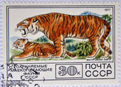 USSR - CIRCA 1977: A stamp printed in Russia shows white siberian tigers, circa 1977 — Stock Photo