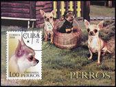 CUBA - CIRCA 2008: A stamp printed in Cuba shows a dog, Chihuahua, circa 2008 — Stock Photo